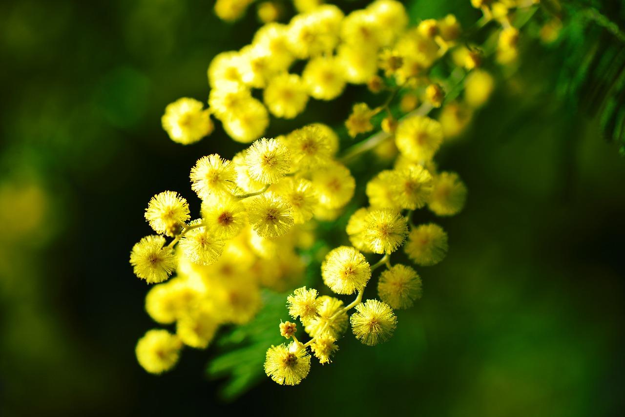 La mimosa per la bellezza delle donne: come usare i fiori per la tua pelle