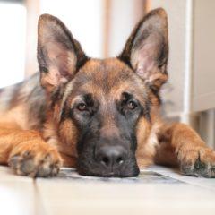 L'arrivo di un cucciolo di pastore tedesco in casa
