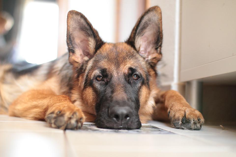 Accogliere un cucciolo di pastore tedesco nella propria for Mutuo per la costruzione della propria casa