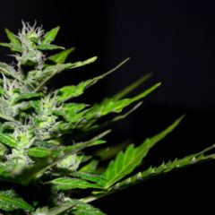 L'uso della cannabis per alleviare il mal di testa