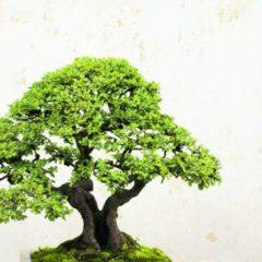 Breve storia dei Bonsai e loro tipologie
